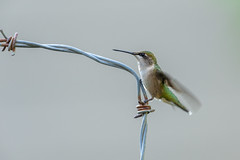 Ruby-throated Hummingbird-42432.jpg (Mully410 * Images) Tags: barbedwire birdwatching birding backyard bird birds hummingbird wire birder rubythroatedhummingbird