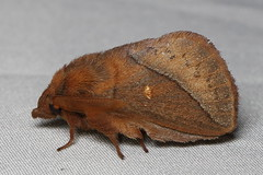 Euthrix orboy occasialis (male) 暗斜帶枯葉蛾 (雄) (YoyoFreelance) Tags: euthrix orboy occasialis 暗斜帶枯葉蛾