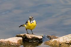 IMG_7792.jpg (TonyJ 3006) Tags: birds greywagtail places slimbridge