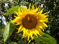 Flowers - (PL) Słonecznik (transport131) Tags: flower kwiat ogród garden lato summer słonecznik sunflower helianthus