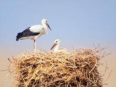 Cigüeñas (Antonio RS) Tags: cigüeñas aves bird extremadura spain españa