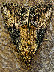 Symmetry on the Wing! (jackalope22) Tags: moth symmetry textures patterns tones nature