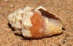 Mitre (Condylomitra tuberosa) under side (shadowshador) Tags: condylomitra tuberosa neomura eukaryota opisthokonta holozoa filozoa animalia eumetazoa bilateria protostomia lophotrochozoa mollusca conchifera gastropoda gastropod gastropods caenogastropoda caenogastropod caenogastropods neogastropoda neogastropod neogastropods mitroidea mitridae conchology malacology invertebrate invertebrates taxonomy scientific classification biology sea snail snails shell shells sand sandy beach wildlife life