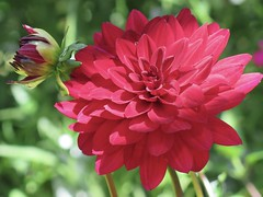 Happy Fri-dahlia ... 🌺🌺🌺 (☜✿☞ Bo ☜✿☞) Tags: lower plant garden fleur flora fauna dof outdoor outside yard backyard flowers blur canong16 powershot macro bokeh closeup summer vacation day summer2018 july august home bright nature floral natur england britain uk europe european depthoffield camera natural country 7dwf national smile fun naturephotography new plants morning view pretty style sunshine naturaleza colourful pov auto cielo red green brown cream colour flickr colours dahlia twosome bud pair couple paysage sommer me fire sunlight friends happy event