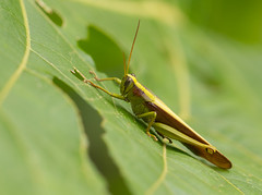 Grasshopper species (piazzi1969) Tags: elements insects hoppers grasshoppers colombia anchicaya kolumbien insekten nature canon eos 7d markii ef100400mm