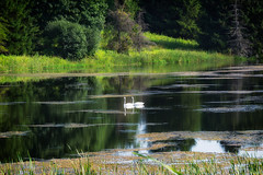 Swan Lake (Martin Chang Photography) Tags: swans ontario canada caledon swanlake nature landscape water green trees