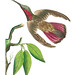 Purple-tailed Hummingbird illustration from The Naturalist's Miscellany