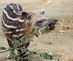 South american tapir Artis JN6A0809 (j.a.kok) Tags: tapir southamerica southamericantapir zuidamerika zuidamerikaansetapir animal artis mammal zoogdier dier herbivore babytapir