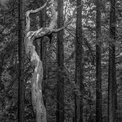 Dancing tree (nhblevins) Tags: northerncalifornia trees twisted straight forest woods