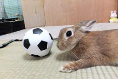 Ichigo san 1260 (Ichigo Miyama) Tags: いちごさん うさぎ ichigo san rabbitbunny cute netherlanddwarf brown ネザーランドドワーフ ペット いちご ぬいぐるみ ぬいどりrabbit bunny ぬいどり