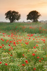 Two Trees and Poppies (Julian Barker) Tags: poppy field trees shardlow derbyshire england east midlands uk great britain countryside rural flora red english sunset golden glow julian barker canon dslr 5d mkii