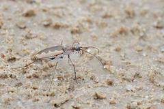 White-cloaked Tiger Beetle (Lepphotos) Tags: kansas staffordcounty quiviranwr na7921ar