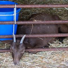 Arapawa goat kid (Dave_A_2007) Tags: animal goat mammal nature wildlife wilmcote warwickshire england