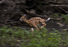 081218152390asmweb (ecwillet) Tags: deer fawn wildwoodparkharrisburgpa nikon nikond500 nikon200500f56 ecwillet ericwillet
