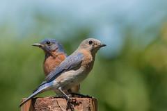 Merlebleu de l'Est, (8) (boisvertvert1) Tags: merlebleudelest easternbluebird michelboisvert 2018 oiseaux oiseauxduquébec birds wildlife canon canon70d canada québec