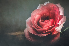 A queen (Ro Cafe) Tags: stilllife rose flower bloom backlight drops water wood textured beautiful romantic closeup setup nikond600