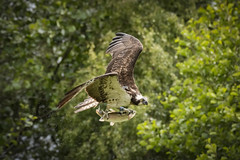 Osprey (cazalegg) Tags: osprey water fish trout fly wildlife