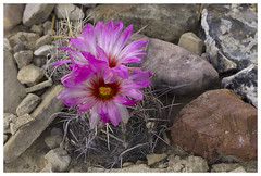 Glory of Texas (AnEyeForTexas) Tags: gloryoftexas thelocactusbicolor cactus chihuahuandesert cacti desert desertflora bigbendranchstatepark