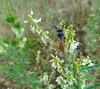 Today is a rainy day - I can't fly (Tabea-Jane) Tags: rainyday bee wet droplets meadow nature regentag biene nass wiese tropfen natur