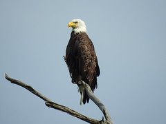 Bald Eagle (FluvannaCountyBirder754) Tags: highlandcounty virginia baldeagle eagle snag birdofprey birdsofprey raptor birdwatching birding bird birder birds wildlife nature outdoor outdoors outside animal creature