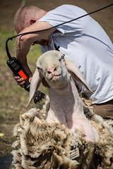 Progetto Salvaraja - Un giorno da Pastore - Tosatura (Ilpiedeverde) Tags: pastorizia pastoretransumante pastore pecore transumanza robeccosulnaviglio salvaraja lombardia aprile verde campagna gregge pascolo pianurapadana parcodelticino ticino