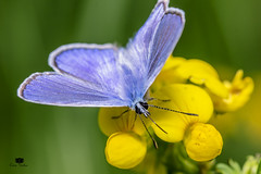 Blue butterfly (Crina Varlan) Tags: blue nature insect butterfly flower canon sigma yellow green maro flickr eyes
