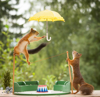 red squirrels stand with a umbrella on a rope