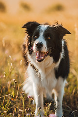 For better day (romanhrbek) Tags: dog summer sony a6500 85mm grass bokeh bordercollie atmosphere colours light sun smile hot alpha dry pet animal photography expression best friend dreamy eyes
