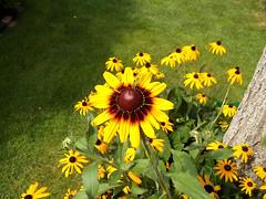 Flowers - (PL) Jeżówka (transport131) Tags: flower kwiat ogród garden lato summer coneflower echinacea moench