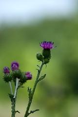 Mariendistel (Silybum marianum) (tucsontec) Tags: distel bokeh makro nah nahaufnahme nature natur pflanze plant