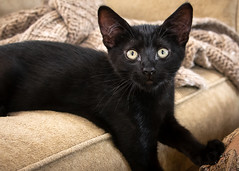 PurrC @ 12 weeks (helenehoffman) Tags: cat feline pet purrc kitten cute purrcival