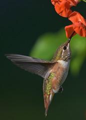 Beauty in the Gardens (Snixy_85) Tags: colonyfarm hummingbird rufoushummingbird selasphorusrufus