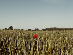 gorri bakarra* (xabi argazkigintza) Tags: champ coquelicot fleu rouge canon eos5dmarkiii blé ciel épis 49 brainsurlauthion maineetloire authion campagne countryside summertime été ef1740 vintagelook kodachrome