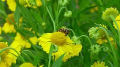 Butineuse dans un jardin de Fréland (ViveLaMontagne67) Tags: france vosges butinage jauve vert green yellow garden bee flower 250v10f 500v20f
