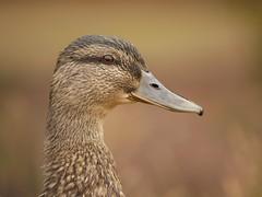 Mallard (PhotoLoonie) Tags: duck mallard waterbird waterfowl nature wildlife portrait