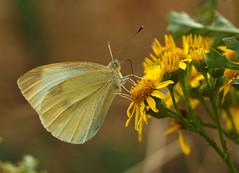 big butterfly count 2018 (part 2) (Johnson Cameraface) Tags: 2018 august summer olympus omde1 em1 micro43 mzuiko 60mm macro f28 johnsoncameraface butterfly bigbutterflycount smallwhite ragwort bigbutterflycountparttwo