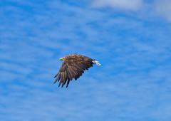 White-tailed sea eagle (Margaret S.S) Tags: white tailed sea eagle inflight
