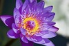 Lavender creme brulee! (ineedathis, Everyday I get up, it's a great day!) Tags: waterlily lily nympaea νουφαρο flower nikond750 tropical exotic beauty pond nature watergarden autumn aquaticplant summer plant bokeh blossom petals blue