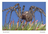 Tegenaria domestica (guitarmargy) Tags: ragno spider insect animal fauna macro closeup nature aracnidae artropodi marcellobardi entomologo wildlife bugshot