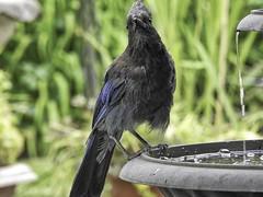 My  Buddy (robinlamb1) Tags: nature outdoor animal bird jay corvid stellarsjay cyanocittastelleri fountain garden