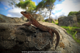 marbled gecko with the Laowa 15mm..