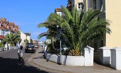 Date Palms, Torbay (Torquay Palms) Tags: paignton tor bay torbay the english riviera south devon england uk westcountry canary island date palm phoenix canariensis palmera canaria canon summer 2018