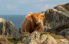 Highland Cow (manxmaid2000) Tags: cow highland cattle grass coast bostaurus isleofman langness iom scottish hairy horn horns brown coat rock red hardy animal sea fuji rocks thrift lichen rural countryside coastal coastline