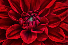 Red !!! (anderswetterstam) Tags: flowers nature seasons red flora floral botanical closeup macro freshness colorful summertime