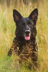 Tiana (Nymeriana) Tags: dog field meadow nature outdoors finland summer evening cute pet grass animal german shepherd gsd