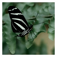 Little tiger ...,🐆 (Raquel Borrrero) Tags: smileonsaturday uniflona butterfly tiger plant helecho mariposa insect insecto
