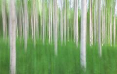 Midsummer (L.Mikonranta) Tags: midsummer birch trees forest finland jyväskylä