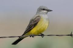 Western Kingbird (BWJones) Tags: ty