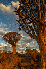 the Quiver forest (Paco Conesa) Tags: namibia africa landscape quiver forest tree sunset canon paco conesa aloe