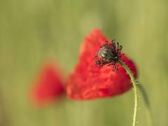 Nouveau look (Titole) Tags: poppy seedpod stamen bokeh red green
